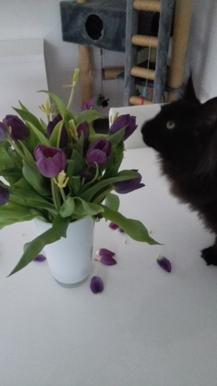 same cat destroying the tullips